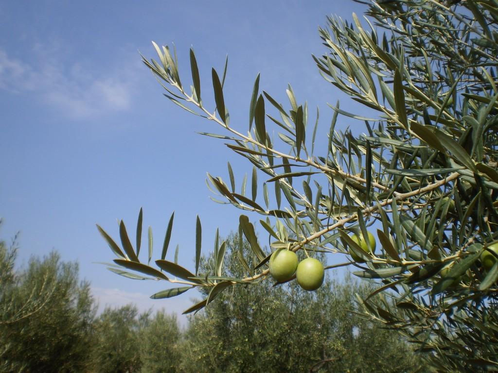 Olivos de La Ibérica