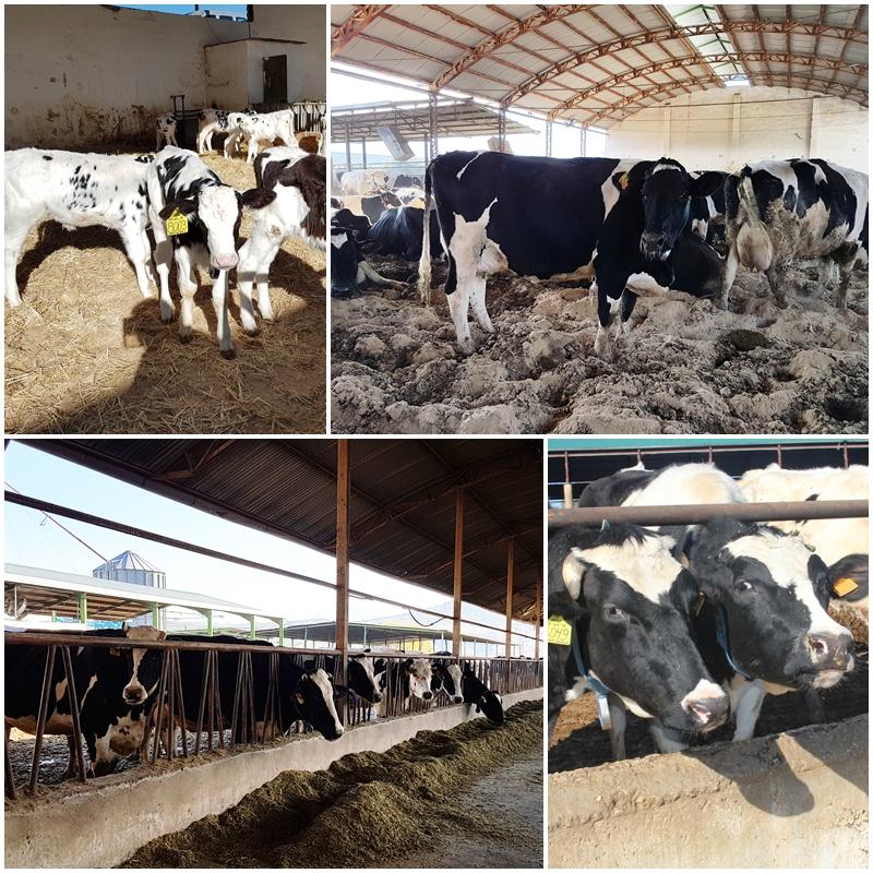 Vacas Leche Levasa